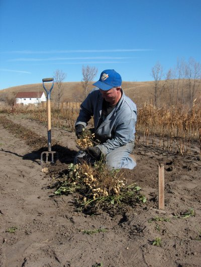 Marv harvests peanuts at North Star Farms, a scant 40 miles south of the Canadian border.