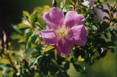 North Dakota's state flower the Wild Prairie Rose blooms on a spring day.